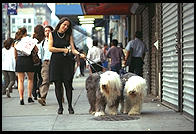 Sheepdogs on 14th Street.  Manhattan 1995.