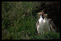 Yellow-eyed penguins on the Otago Peninsula.  South Island, New Zealand.