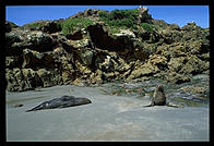 Seals on the Otago Peninsula.  South Island, New Zealand.