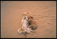 Dogs wrestling at the Acoma Pueblo, New Mexico