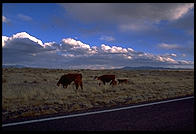 Roadside cows.  New Mexico, not far from Salinas Pueblo Missions National Monument