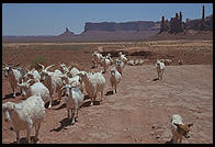 Goats in Monument Valley (Arizona/Utah border), part of the Navajo Nation
