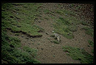 A wolf in Denali National Park