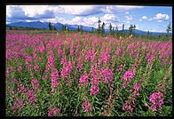 Lupines in Healy, Alaska