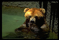 A bear in the water.