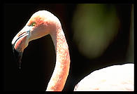 A flamingo close-up