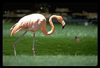 A flamingo walking