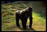Gorilla standing in the sun.