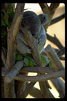 A koala bear sleeping.