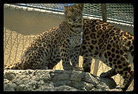 Leopard with ugly chainlink fence.