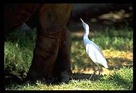 Rhino and egret