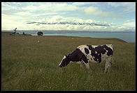 Cow in front of the coastal mountains in the northeast corner of the South Island, New Zealand