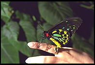 Butterfly in Kuranda, Queensland, Australia
