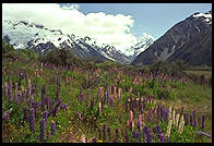 Lupines and mountain, South Island, New Zealand