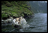 Seal colony in Milford Sound, South Island, New Zealand