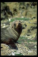 Seal.  Otago Peninsula.  South Island, New Zealand.