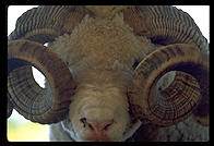 Sheep with curly horns at a tourist farm in Rotorua, North Island, New Zealand.