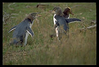 Yellow-eyed penguins.  Otago Peninsula.  South Island, New Zealand.