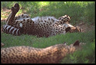 Cheetahs sleeping in the sun.