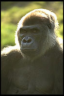 Gorilla head and shoulders portrait.