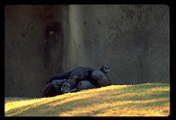 Gorilla sleeping.