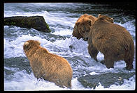 Bears preparing for a fight.  Brooks Falls, Katmai National Park, Alaska.