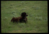 Lone bison, Theodore Roosevelt National Park, North Dakota