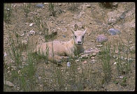 A baby mountain goat by the side of the road, Banff National Park, Alberta, Canada