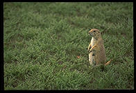 A prairie dog, Theodore Roosevelt National Park, North Dakota