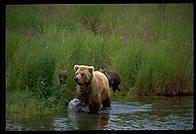 Sow and cubs.  Katmai National Park, Alaska.