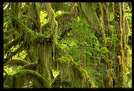 Hoh Rainforest.  Olympic National Park (Washington State).