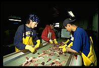 The roe line.  Petersburg Fisheries, Petersburg, Alaska.
