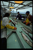 Sorting salmon.  Petersburg Fisheries, Petersburg, Alaska.