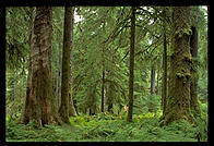 Hoh Rainforest, Olympic National Park (Washington State)
