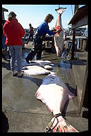Weighing Halibut caught by tourists.  Homer, Alaska.