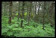 The forest along Jakalof Bay, near Seldovia, Alaska.