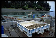 Sadie Sin's clams, a few miles out of Seldovia, Alaska.