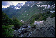 A goat hangs out on Going to the Sun Road, Glacier National Park (Montana)