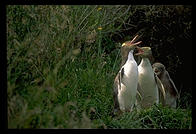 Yellow-eyed Penguins, Otago Peninsula, South Island, New Zealand