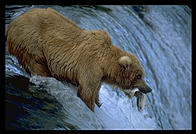Brooks Falls, Katmai National Park (Alaska)