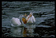 White Pelicans in Yellowstone National Park