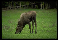 A young moose in Yellowstone National Park