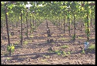 Vineyard.  South of Stockton, California