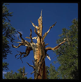 Ancient Bristlecone Pine Forest.  California's White Mountains.