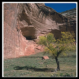 A tree in Canyon de Chelly
