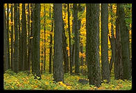 Maple trees near Peacham, Vermont