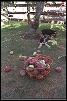Amish puppies and apples.  Pennsylvania 1995.