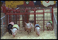 Pig racing at the New Jersey State Fair 1995.  Flemington, New Jersey.