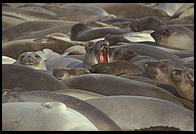 Elephant Seal Colony.  Just north of the Hearst Castle.  San Simeon, California.
