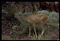 Mule Deer.  Phantom Ranch.  Grand Canyon National Park.